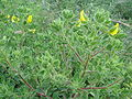 Ononis pubescens.JPG