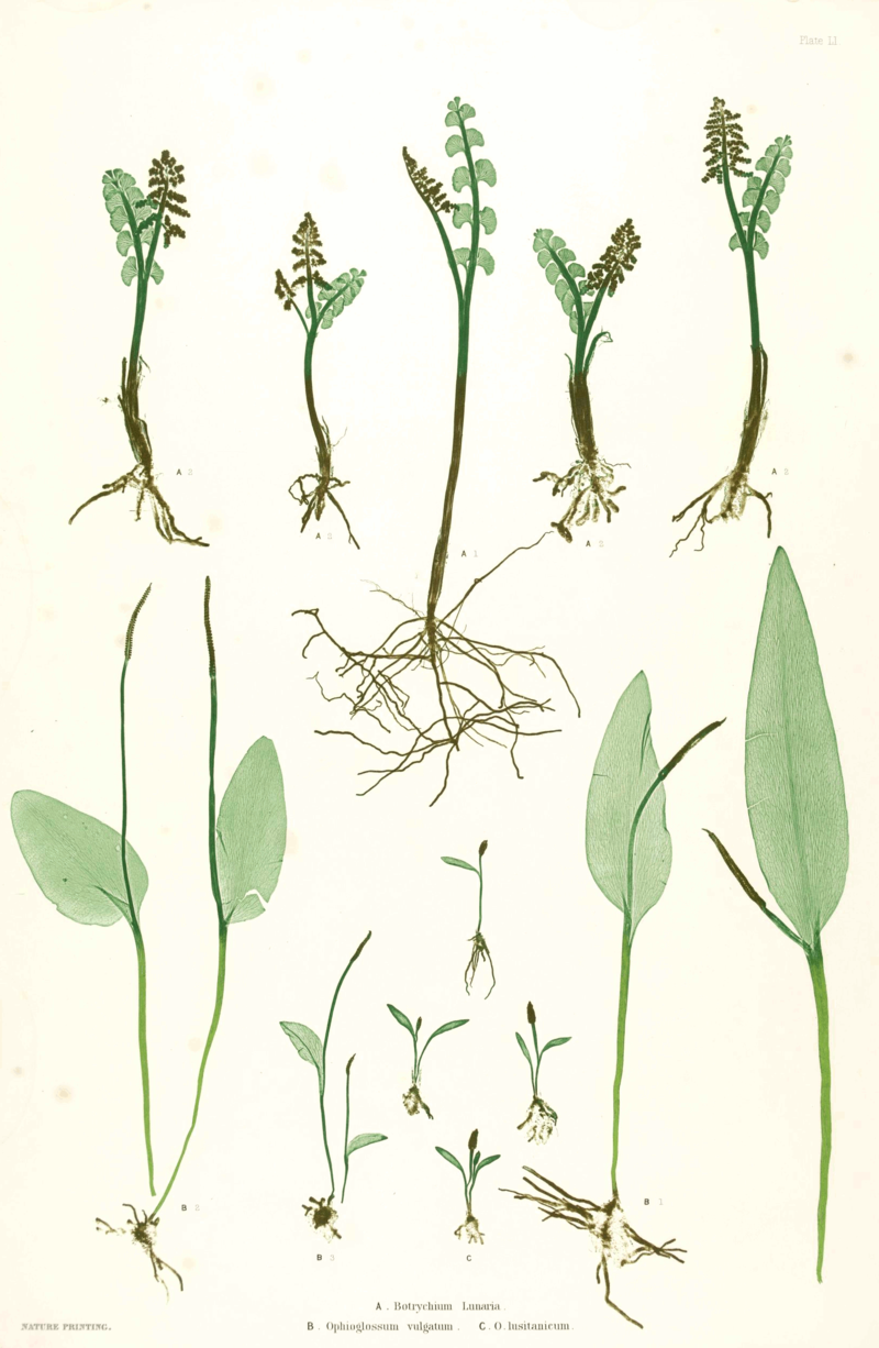Ophioglossaceae spp Moore51.png