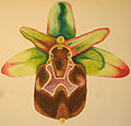 Ophrys argolica pollinensis DIS01.jpg