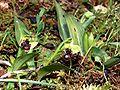Ophrys bombyliflora Mallorca 2008 31.jpg