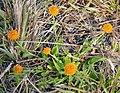 Orange Milkwort (Polygala lutea) (38116448705).jpg