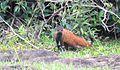 Orange Mongoose.jpg