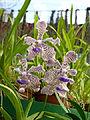 Orchidées-Jardin botanique de Peradeniya-Sri Lanka (12).jpg
