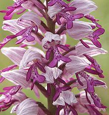 Flores de Orchis militarisA espécie tipo de  Orchidaceae.