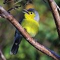 Oriente warbler (Teretistris fornsi).JPG