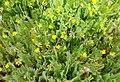 Ornithopus compressus flower (16).jpg