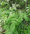 Osmorhiza longistylis.jpg