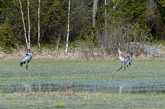 Common crane - Common cranes in Osmussaar, Estonia. That kind of wetlands are preferred habitats for the cranes.