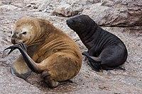 Otaria flavescens -Patagonia-8