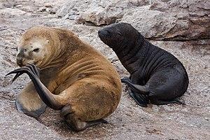 Otaria flavescens -Patagonia-8.jpg