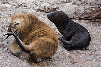 South American sea lion - Female sea lion and pup