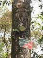 Otochilus alba Darjeeling Zoo.JPG
