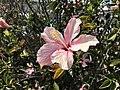 Our Hibiscus (51104933999).jpg