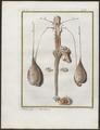 Ovis aries - voortplantingsorganen - 1700-1880 - Print - Iconographia Zoologica - Special Collections University of Amsterdam - UBA01 IZ21300137.tif
