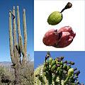 Owoce Saguaro.jpg
