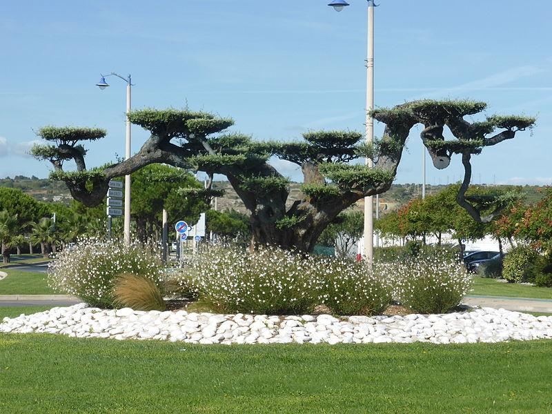 Olivier bonsaï à Port la Nouvelle, classé arbre remarquable de France