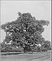 PSM V84 D563 American chestnut central maryland.jpg