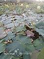 Padma Flower 09.jpg