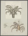 Pagurus clypeatus - - Print - Iconographia Zoologica - Special Collections University of Amsterdam - UBAINV0274 096 11 0029.tif