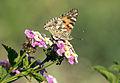 Painted lady - Diken kelebeği 01.jpg