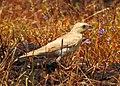 Pale rockfinch (ഇളം പാറക്കുരുവി ) - 7.jpg