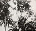 Palm trees producers of copra, Kami Memperkenalkan Maluku dan Irian Barat, p15.jpg