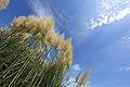 Pampas Grass Cortaderia selloana 銀葦(シロガネヨシ).jpg