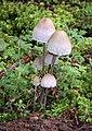 Panaeolus papilionaceus (Bull.) Quél 183735.jpg