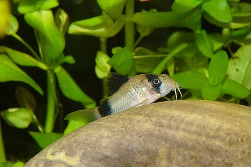 Keeping Corydoras panda | What does this cheerful little catfish need to thrive in your aquarium? #fish