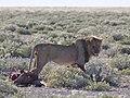 Panthera leo debout MHNT.jpg