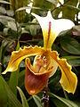 Paphiopedilum Leeanum, 2015-03-13, Phipps Conservatory, 01.jpg