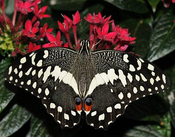 Papilio demodocus (2).jpg