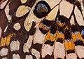 Papilio demoleus wing.jpg
