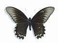 Papilio forbesi Grose-Smith, 1883.JPG