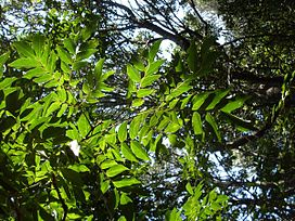 Pararchidendron pruinosum leaves Barrenjoey.JPG
