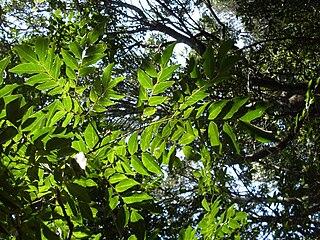 <i>Pararchidendron pruinosum</i> Species of legume