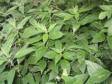 Parietaria officinalis1.jpg