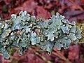 Parmelia sulcata (Parmeliaceae) (Net-marked Parmelia), Arnhem, the Netherlands.jpg