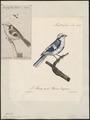Parus cyaneus - 1825-1834 - Print - Iconographia Zoologica - Special Collections University of Amsterdam - UBA01 IZ16100133.tif