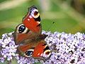 Peacock Butterfly1.JPG