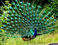 Peacock in display by N A Nazeer.jpg