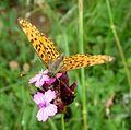 Pearl-Bordered Fritillary. Clossiana euphrosyne - Flickr - gailhampshire (1).jpg