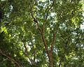 Pecan tree canopy zilker.jpg