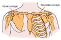 Pectoral girdles-az.png