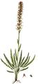 Pedicularis groenlandica, Flora Danica 1166.png