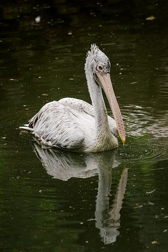 Spot-billed pelican - Image: Pelecanus Philippensis
