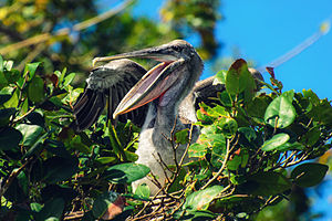 Los Haitises National Park -  Pelican in the nest on one of Los Haitises islands