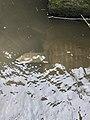 Pelodiscus sinensis 81092312.jpg