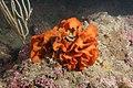 Pentapora fascialis 117867727.jpg