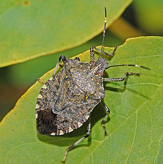 Brown marmorated stink bug species of insect